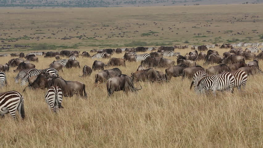 Large herd of blue wildebeest and plains zebras grazing on the grasslands of Masai Mara, Kenya - HD stock footage clip