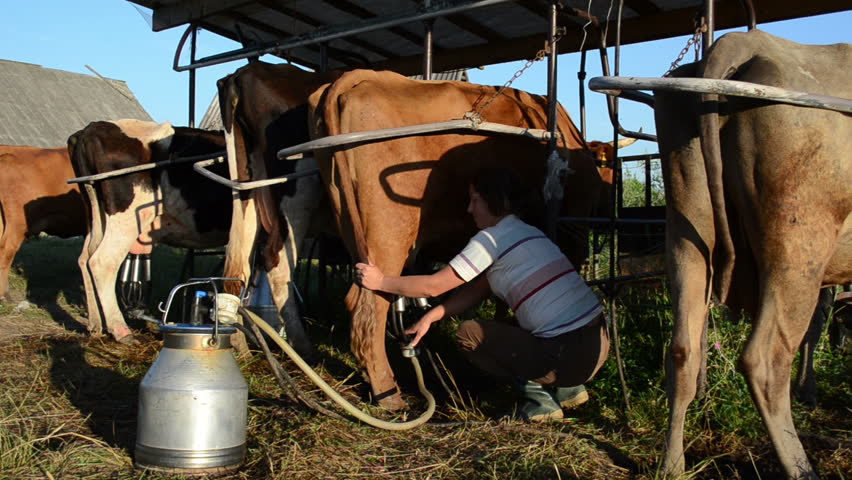 how to use milking machine for cows