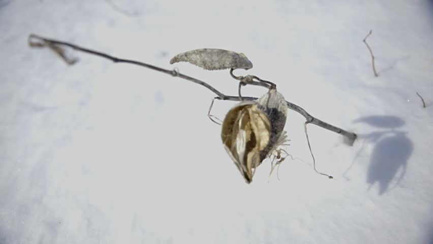 Sapling seeds in pods.