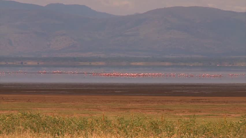 Pink Flamingos take off and land in a lake in the Ngorongoro Crater in Africa. - HD stock video clip