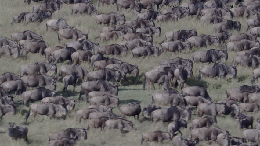 Wildebeest Herd Migration. A skying look over a large herd of wildebeest. The shot wonderfully captures the herd migrating through the savannas of Africa. - HD stock footage clip