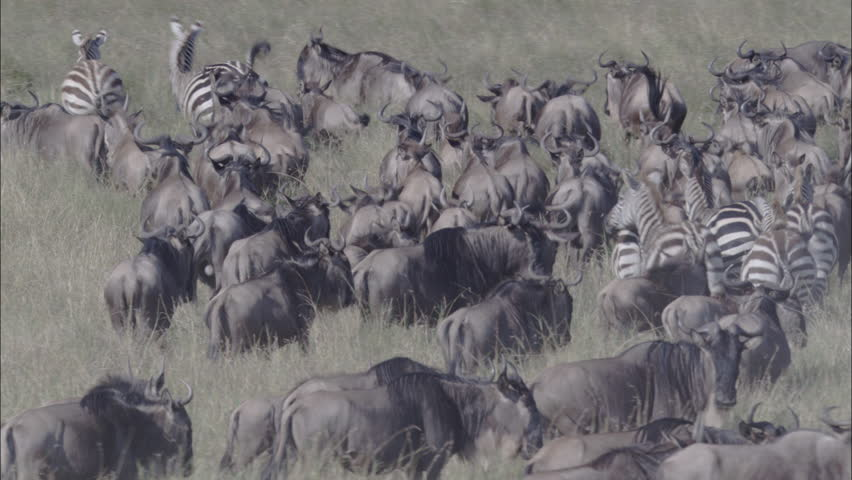 Zebra Wildebeest Herd Migration. A skying look over a large herd of wildebeest. The shot wonderfully captures the herd migrating through the savannas of Africa. Zebras also graze the pasture. - HD stock footage clip
