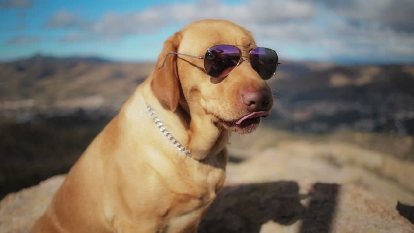 Labrador retriever wears aviator sunglasses on the mountaintop