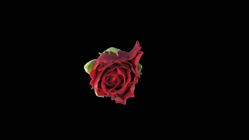"""Time-lapse of opening """"El Toro"""" rose"""