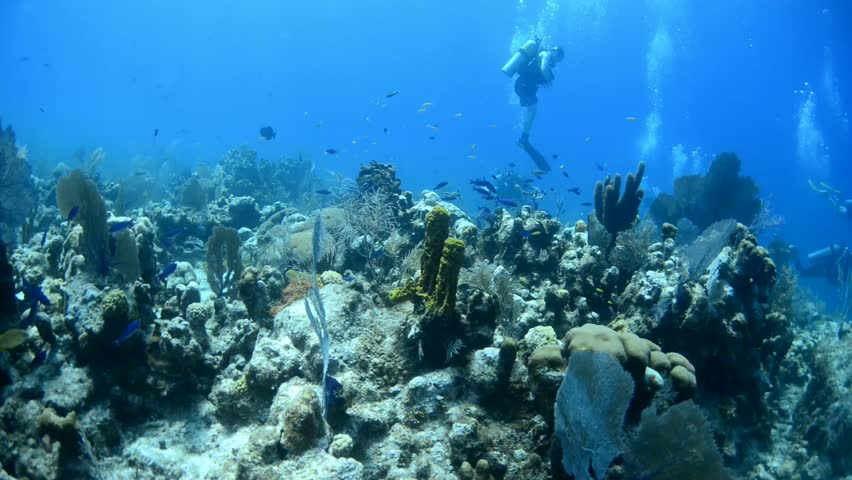 French grunts on Bonny's reef in Grand Cayman