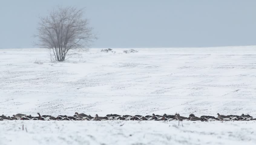 Thousands of geese in winter snow field. Hundreds of White-fronted and Red-breasted geese flying and eating in to the field.