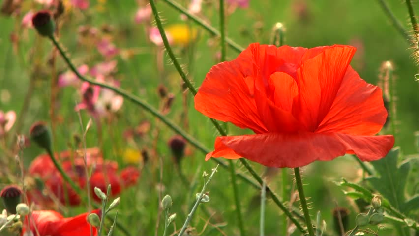 poppies in the wind - photo #7