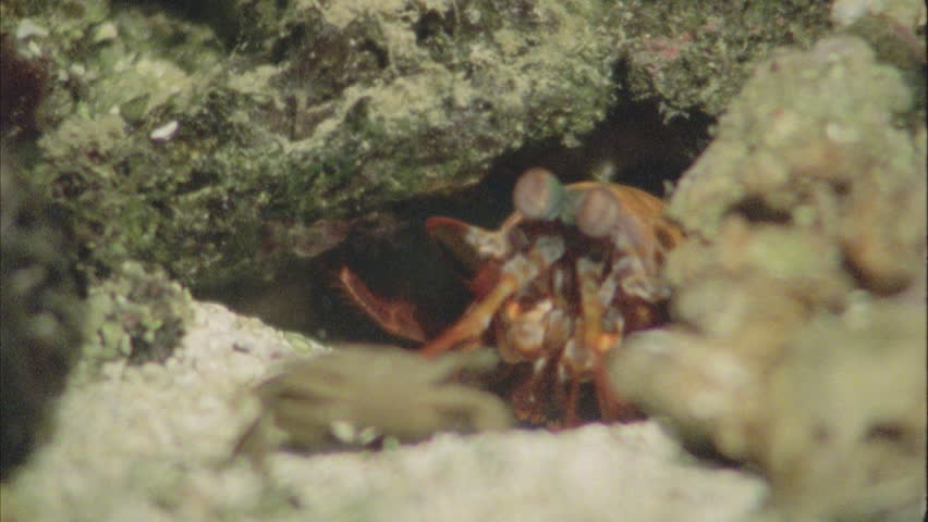 Stomatopod attacks crab by hammering it with its claw to break the hard exoskeleton