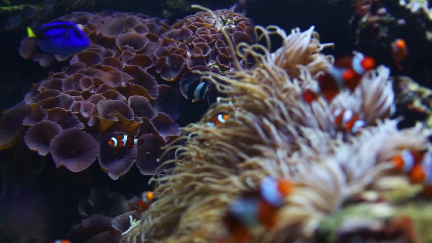 Pull focus shot of clown fish and coral