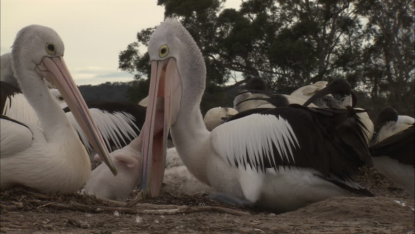 Pelican feeding hatchling - HD stock footage clip