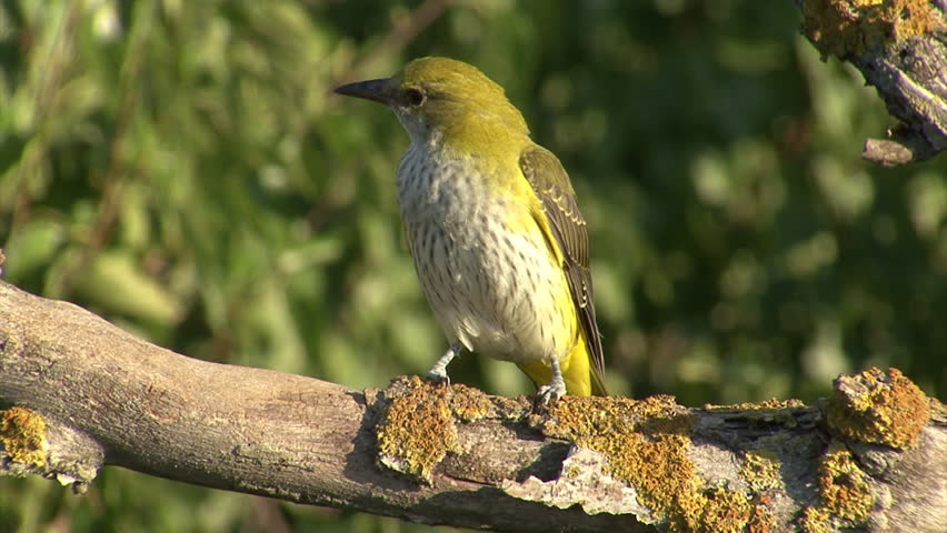 Exotic Bird Perched On Branch. Golden Oriole Perched On ...