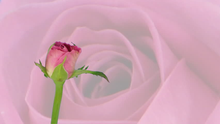 Time-lapse of pink rose opening 4a against rose background  - HD stock footage clip