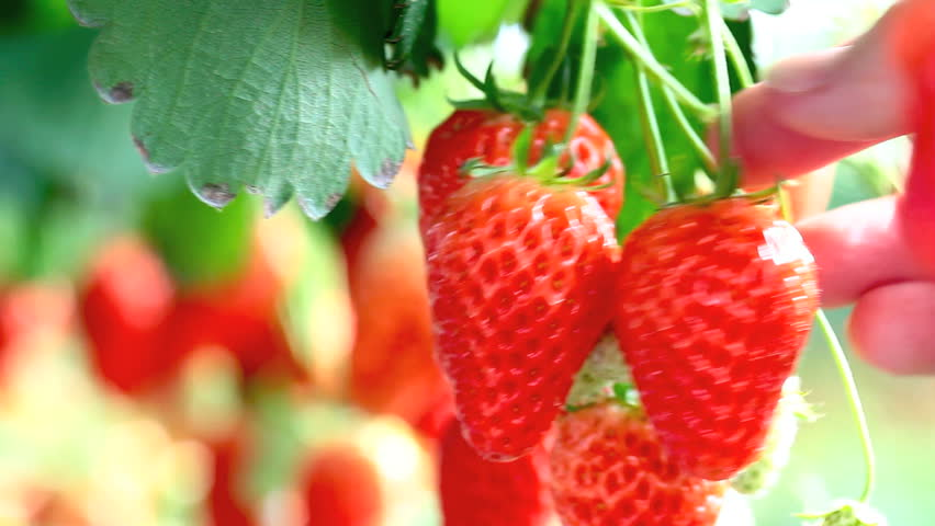 Strawberries growing in a greenhouse.