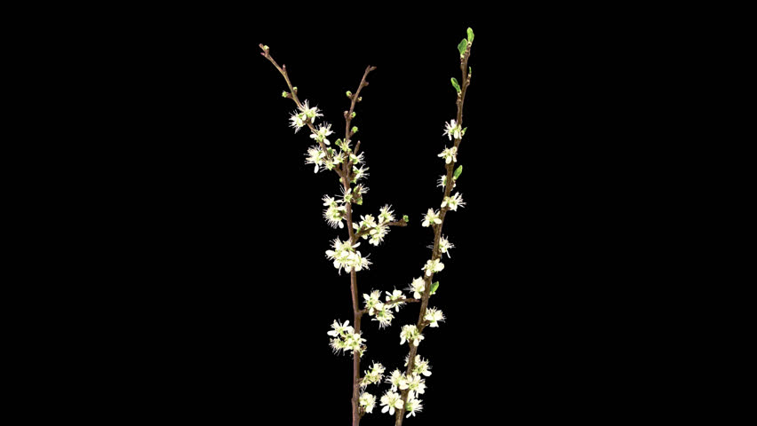 Time-lapse of blooming cherry willow branch 11a1 in PNG+ format with alpha transparency channel isolated on black background
