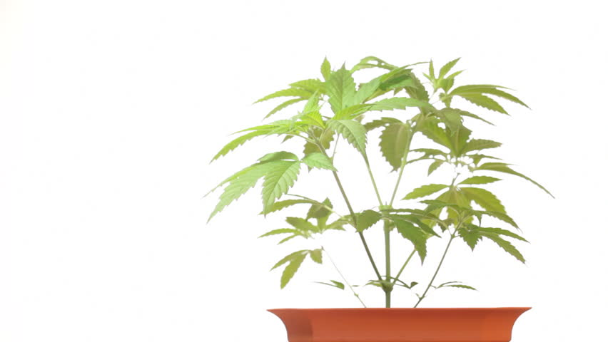 Cannabis female plant in flowerpot, Indica dominant hybrid in vegetative stage. Strain of medical marijuana with high CBD and low THC content, moving in wind over white background.