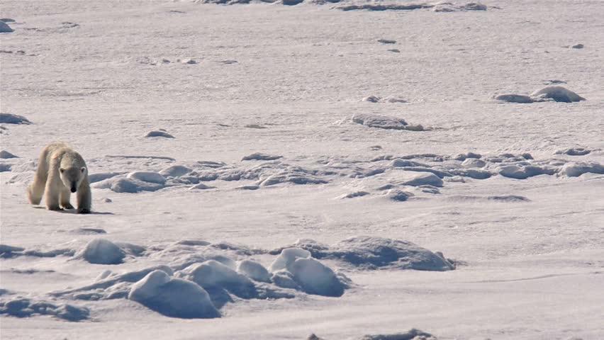 Polar bear approaching a ship from the sea ice near Bjornsundet in the Svalbard archipelago, Norway.