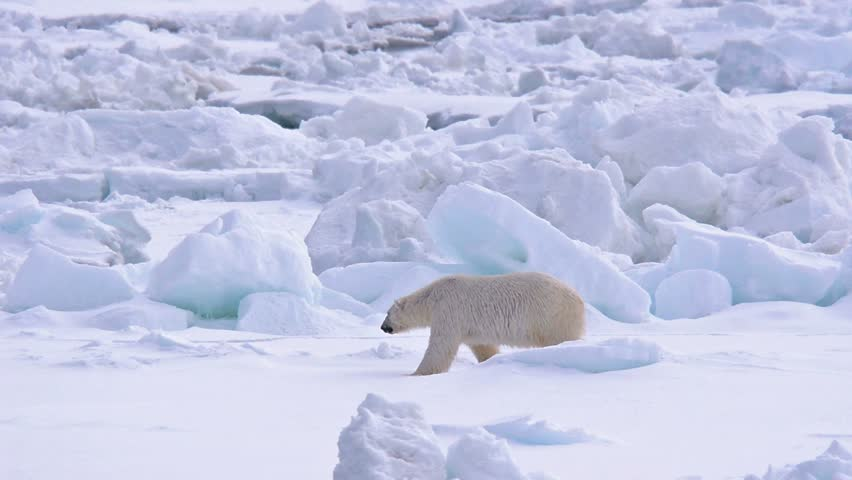Polar bear walking on sea ice near Torelleneset on the east side of Hinlopen Strait on Nordaustlandet in Svalbard archipelago, Norway.