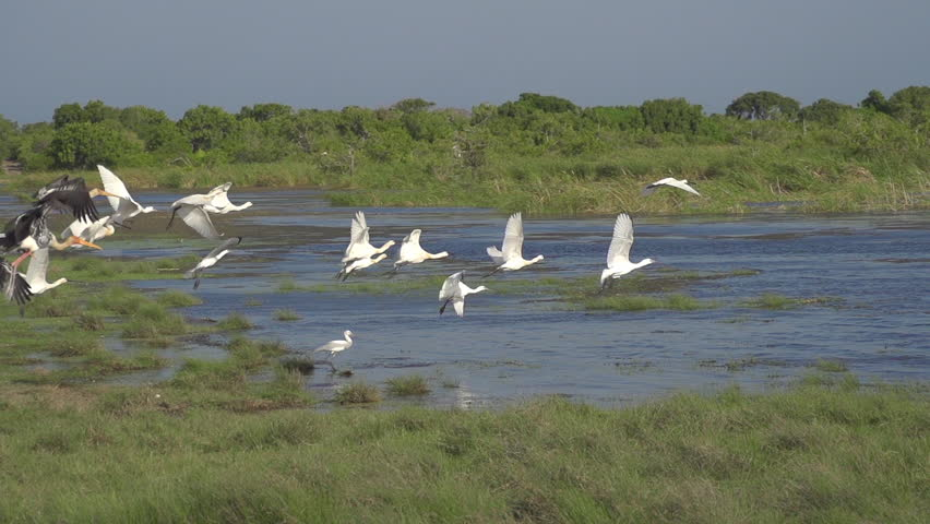 SLOW MOTION: A flock of storks flying away - HD stock footage clip