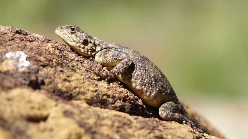 Female Ground Agama (Agama Aculeata) Basking On A Rock ...