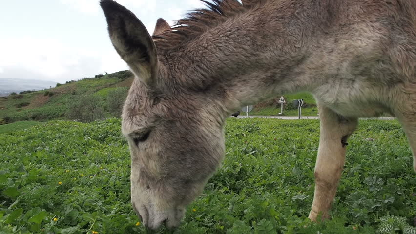 Donkey on rainy hillside in Morocco, eating grass.