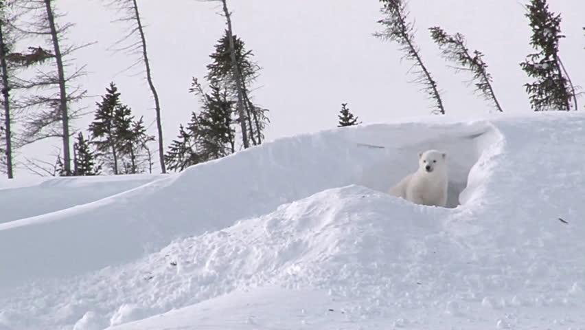 Polar Bear (Ursus maritimus)  cub playing outside the Den.