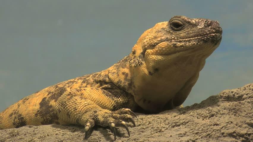 Chuckwalla, desert native lizard, sits on rock, claws extended, eyes intruder. 1080p - HD stock footage clip