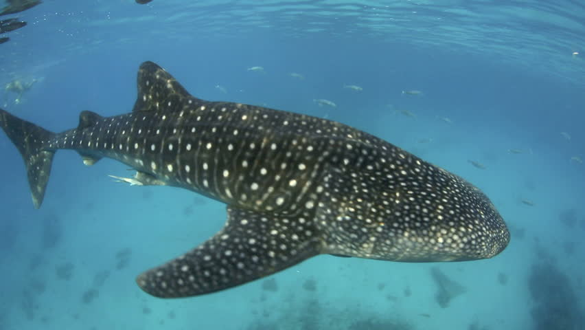 Whale shark underwater swimming past camera on Cebu Island, Philippines