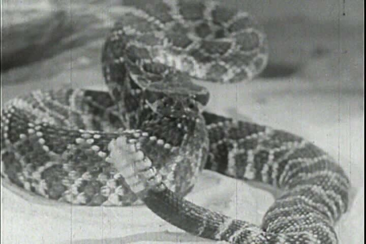 CIRCA 1950s - Rattlesnakes are studied in 1956.