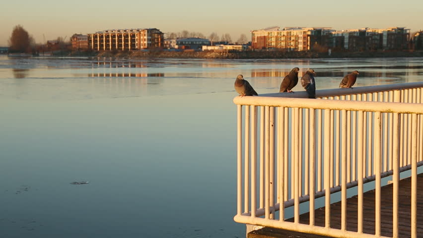 New Westminster Waterfront, Fraser River Ice. Pigeons rest on a railing as chunks of ice on the Fraser River flow past New Westminster, British Columbia, Canada. - HD stock video clip