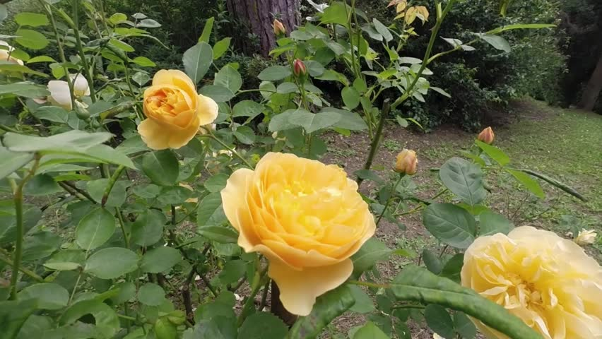 Video clip showing a bush of Rose Golden Celebration, a compact shrub rose with glossy, dark foliage and large, cup-shaped, fragrant, double, rich yellow flowers in summer and autumn.