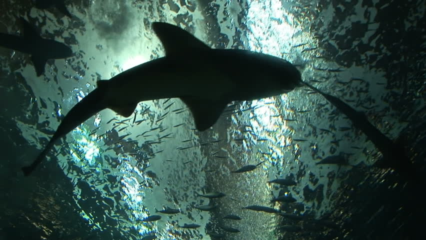Looking up at silhouettes of sharks swimming