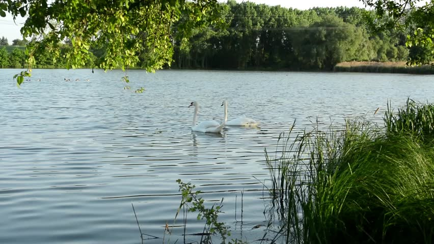 Swans on the lake with grass and trees (nature). Ducks in the background.  - HD stock video clip