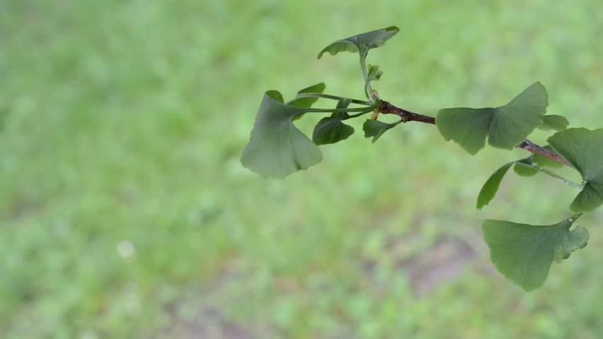 a little tree of ginkgo, panning