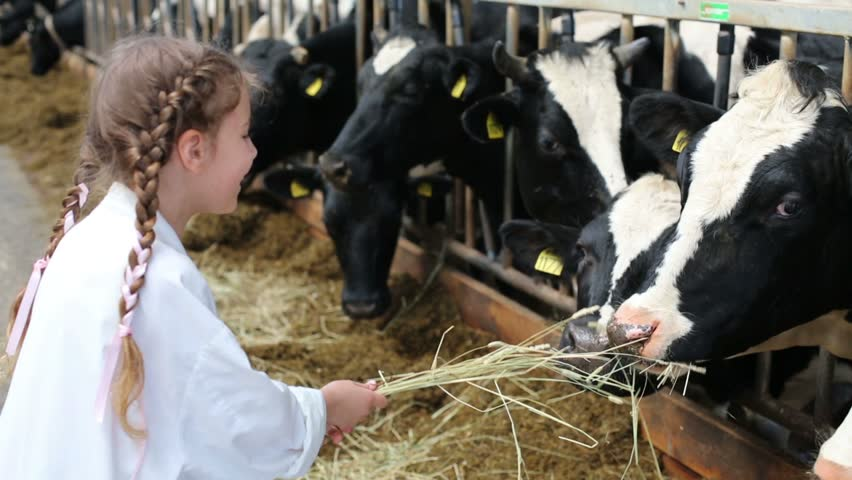 Little girl in white robe giving hay to cows at dairy farm - HD stock video clip