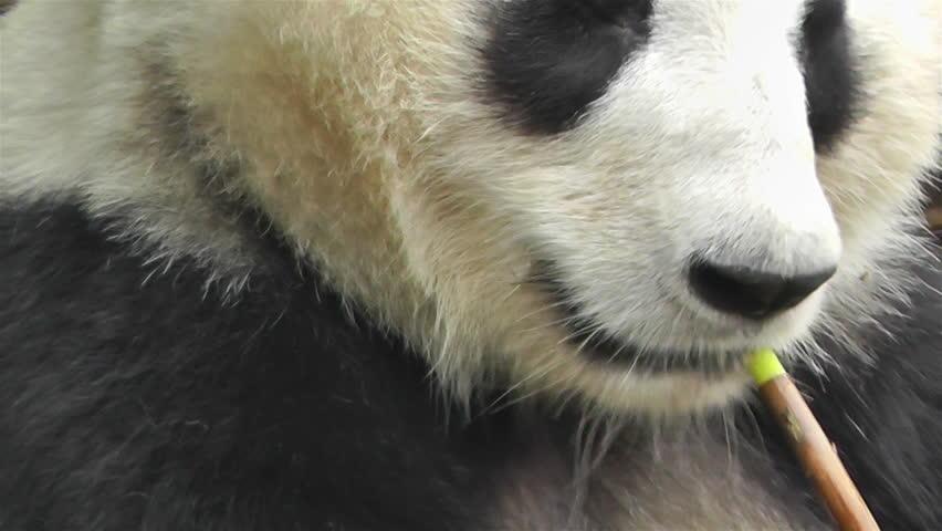 Giant Panda (Ailuropoda melanoleuca) Fact Sheet: Diet & Feeding