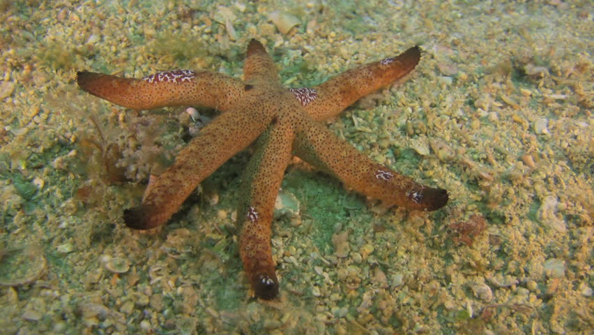 Starfish moving slowly over a sand bottom - HD stock footage clip