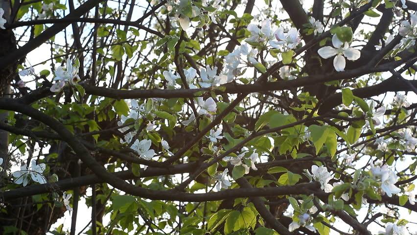 Sunrise Apple Tree Apple Tree Blossom