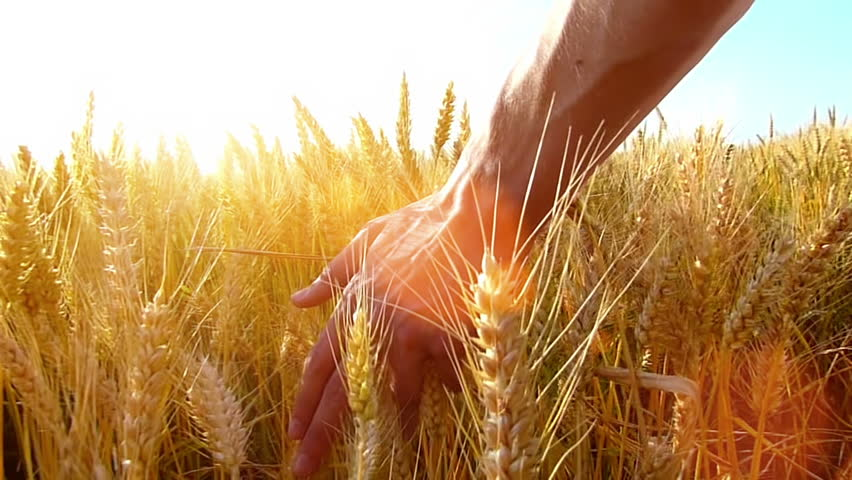 Male hand touching a golden wheat ear in the wheat field, sunset light, flare light.Unrecognizable person, slow motion, high speed camera,copy space