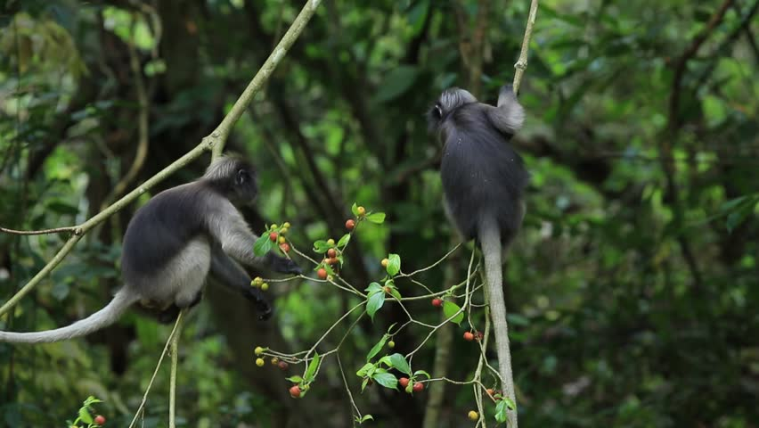 Dusky Leaf Monkeys In Tropical Rainforest, Thailand Stock Footage ...