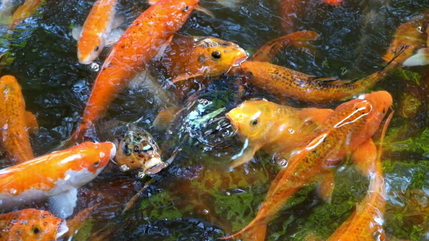 Hd koi fish or carp in a pond stock footage video 6628349 for Koi pond hd