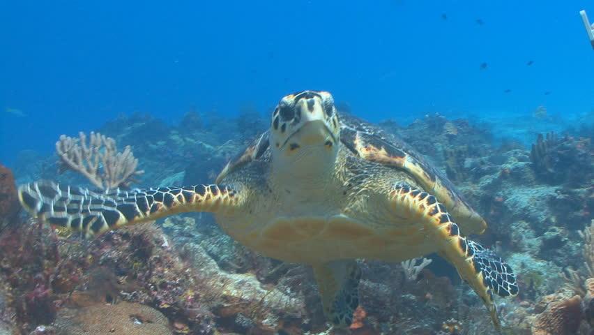 hawksbill sea turtle swimming toward camera in cozumel
