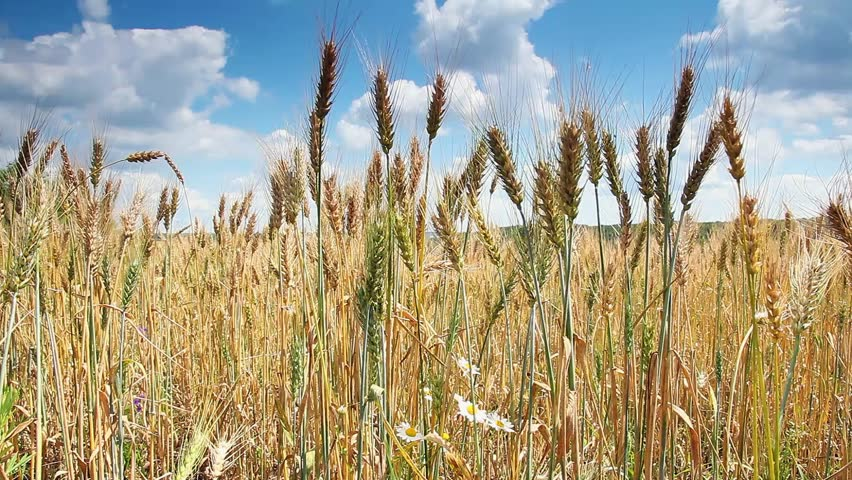 Wheat field ripening in a sunny day. Ukraine, Europe. Beauty world. HD video (High Definition)