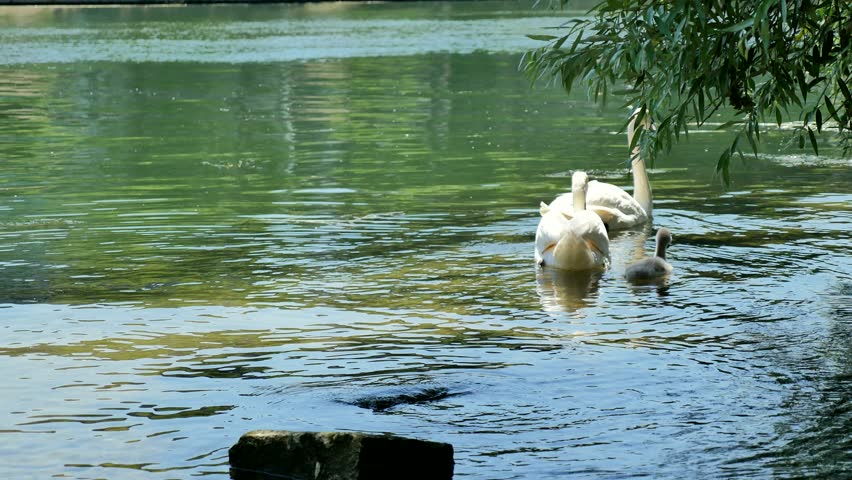 Family of swans swimming together on a seine river, Paris, France (2) - 4K stock footage clip
