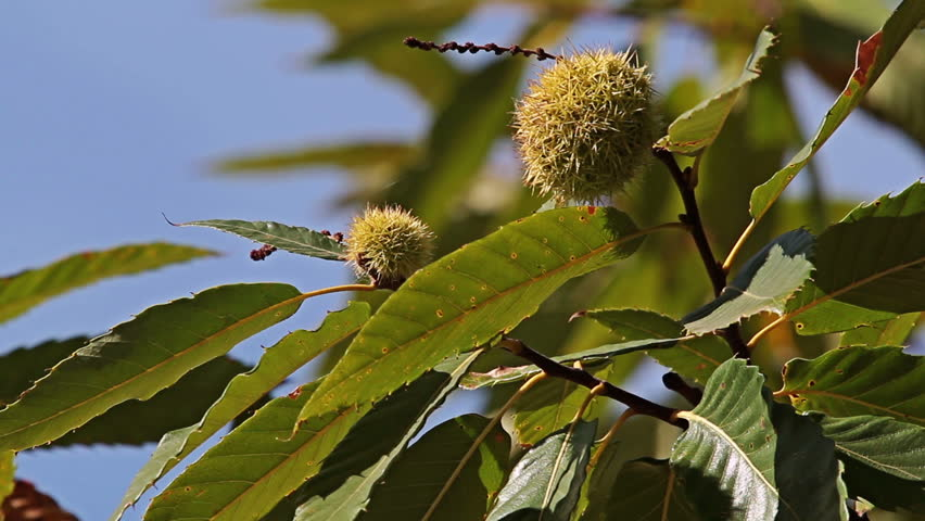 Hot September day. A spiny shells fruits of  Sweet Chestnut tree (Castanea sativa) shot on the deep blue sky.