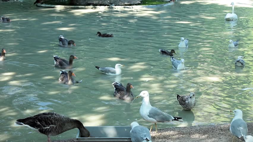 Video clip of many birds swimming  in the pond.