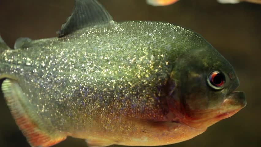 Closeup video clip of piranha fish.