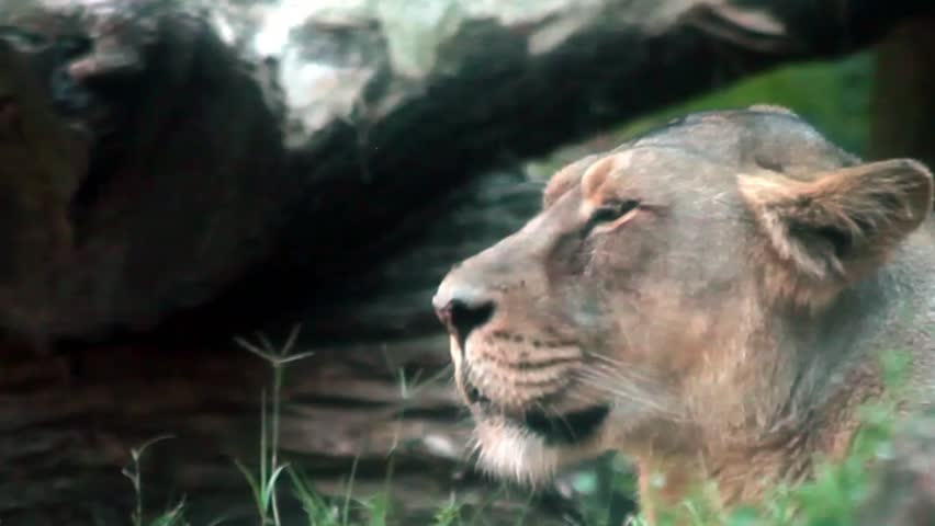 Video clip of female lion, side view shot.