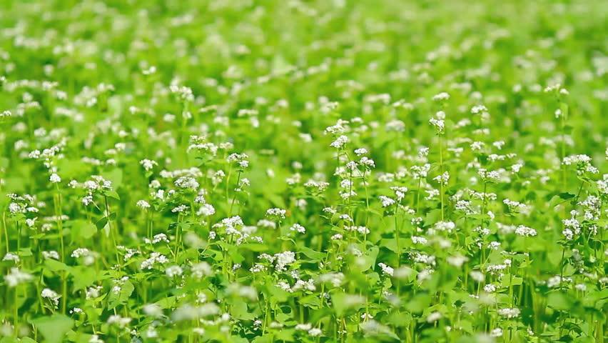 Field of buckwheat in the wind.