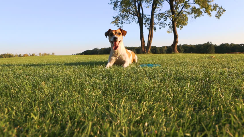 Happy wellness dog life. Young healthy active Jack Russell Terrier playing outdoors - HD stock footage clip