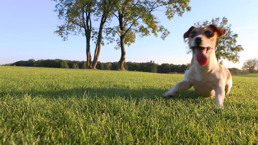 Agitated young healthy active dog dance on a green field with trees. Cute Jack Russell Terriers best dogs! - HD stock footage clip